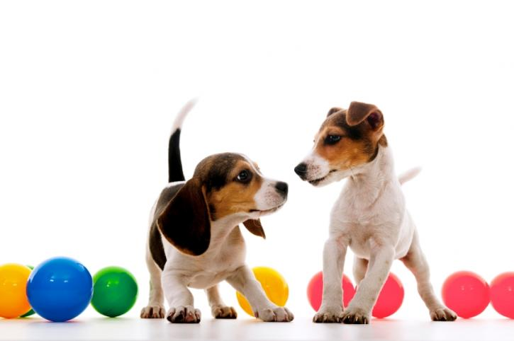 Puppies with multicolored balls in the background