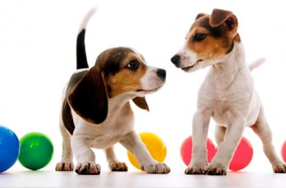 Two puppies next to many colored plastic balls