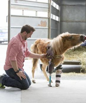 pony with prosthetic leg