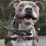 Pit bull on leash