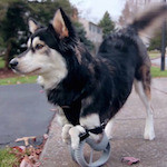 Dog with plastic prosthetic legs