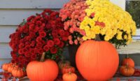 autmn flowers, chrysanthemums, fall gardening
