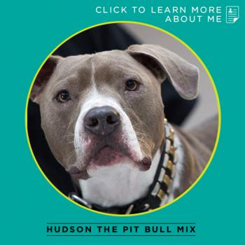 Hudson the pit bull mix thumbnail to bio