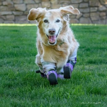 Chi Chi, rescue dog, prosthetics